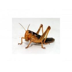 Keleti vándorsáska - 1. méret (kicsi 1,5-2 cm)