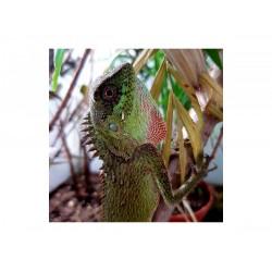 Hegyi agáma (Acanthosaura capra) fiatal pár
