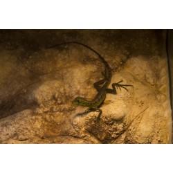 Homloklebenyes baziliszkusz (Basiliscus plumifrons)