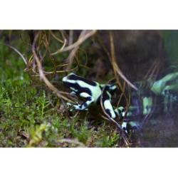 Arany famászóbéka zöld (Dendrobates auratus)