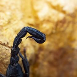 Ázsiai skorpió (Heterometrus sp.)