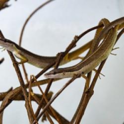 Hosszúfarkú fűgyík (Takydromus sexlineatus)
