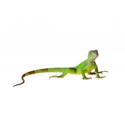 Zöld leguán (Iguana iguana)