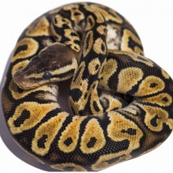 "Királypiton (Python regius) - ""Pastel het. Caramel"""