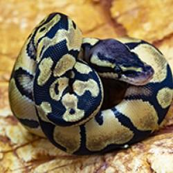 """Királypiton (Python regius) - """"Enchi Fire"""""""