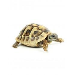 Görög teknős (Testudo hermanni boettgeri)