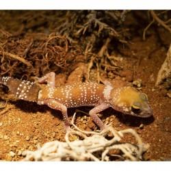 "Ausztrál vastagfarkú gekkó ""hypo"" (Underwoodisaurus millii)"