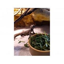 Tápláléknövény mix szárazföldi teknősöknek és más növényevő hüllőknek