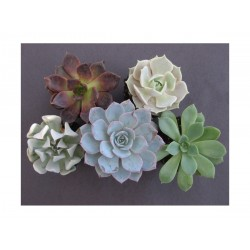 Fáskövirózsa (Echeveria spp) többféle
