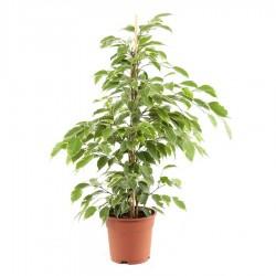 Fikusz - Ficus benjamina 50 cm