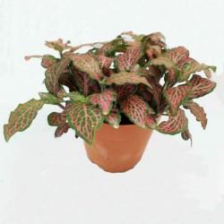 Fittonia - Hálóslevél
