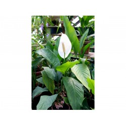 Vitorlavirág (Spathiphyllum Quattro)