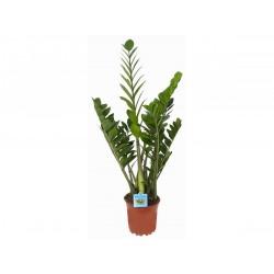 Agglegény pálma - Zamioculcas (40 cm)